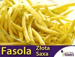 Fasola szparagowa karłowa żółtostrąkowa Złota Saxa (Phaseolus vulgaris) XXL 500g