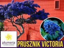 Prusznik Niebieski VICTORIA (Ceanothus) Sadzonka P9/C1