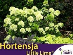 Hortensja bukietowa 'Little Lime ®' miniaturowa (Hydrangea paniculata) sadzonka C3