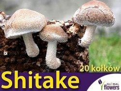 Shitake twardziak jadalny grzybnia na kołkach 20szt  Grzyb długowieczności