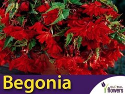 Begonia zwisająca czerwona (Begonia x tuberhybrida pendula) CEBULKA