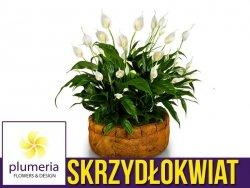 Skrzydłokwiat BELLINI (Spathyphillum Bellini) Roślina domowa. Sadzonka P8,5 - S