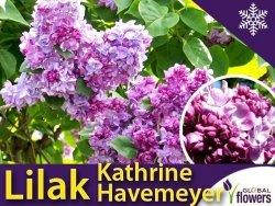 Lilak Pospolity 'Kathrine Havemeyer' (Syringa vulgaris) Sadzonka
