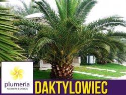 Palma Daktylowiec kanaryjski (Phoenix canariensis) sadzonka C2,5