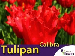 Tulipan strzępiasty 'Calibra' (Tulipa) CEBULKI 4 szt.