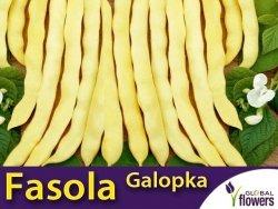 Fasola szparagowa karłowa żółtostrąkowa Galopka płaska (Phaseolus vulgaris) XXL 500g