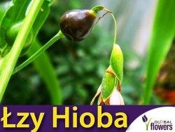 Łzawica, Łzy hioba  (Coix lacryma - jobi)