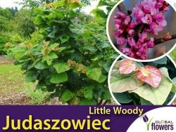 Judaszowiec 'Little Woody' (Cercis canadensis) Sadzonka XL- C5 40-60cm