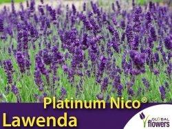 Lawenda 'Platinum Nico®' (Lavandula Pure Platinum 'Nico') OGROMNA SADZONKA XL- C5
