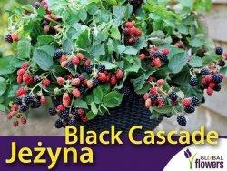 Jeżyna bezkolcowa 'Black Cascade' (Rubus fruticosa) Sadzonka doniczka wisząca C2