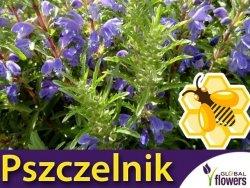 Roślina Miododajna PSZCZELNIK MOŁDAWSKI (Dorocephalum moldavicum) nasiona XXL 100g
