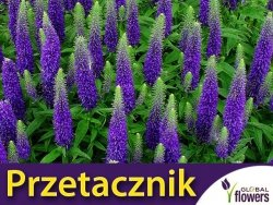 Przetacznik kłosowy, niebieski (Veronica spicata) 0,1g
