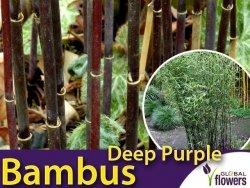 Czerwony Bambus Mrozoodporny DEEP PURPLE (Fargesia Jiuzhaigou) Sadzonka C2