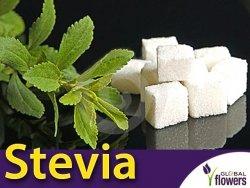STEWIA - Naturalny słodzik Stevia (Stevia rebaudiana) Sadzonka