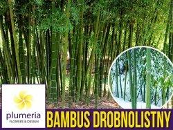 Bambus Mrozoodporny Drobnolistny Gigant (Phyllostachys parvifolia) Sadzonka XL-C5