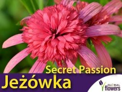 Jeżówka SECRET PASSION (Echinacea) Sadzonka C1