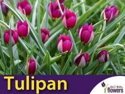 Tulipan botaniczny 'Persian Pearl' (Tulipa) CEBULKI 5 szt.