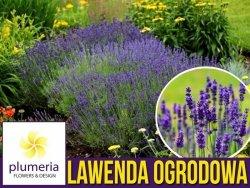 Lawenda ogrodowa (Lavandula vera) Sadzonka P9 OUTLET