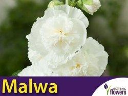 Malwa, Prawoślaz Biała (Alcea rosea fl.pl.) 0,5 Nasiona