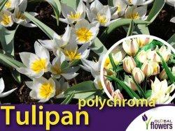 Tulipan botaniczny 'polychroma' (Tulipa) CEBULKI 5 szt
