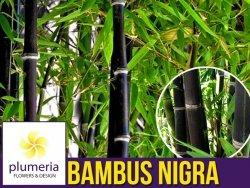 Czarny Bambus Drzewiasty NIGRA Mrozoodporny (Phyllostachys) Sadzonka C2,5