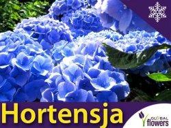 Hortensja ogrodowa 'Renate' Piękna błękitna odmiana (Hydrangea macrophylla) Sadzonka