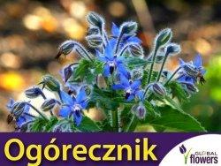 Ogórecznik lekarski (Borago officinalis) Sadzonka C1,5