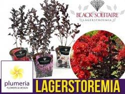 Lagerstroemia BLACK SOLITAIRE® Red Hot (Lagerstroemia indica) Sadzonka C2