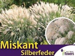 Miskant chiński SILBERFEDER (Miscanthus sinensis) Sadzonka C1