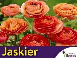 Jaskier azjatycki pomarańczowy (Ranunculus asiaticus) CEBULKI 7 szt