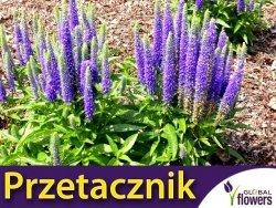Przetacznik długolistny FIRST GLORY (Veronica longifolia) Sadzonka P9