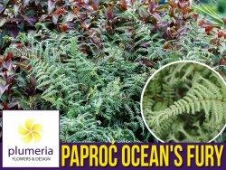 Paproć Wietlica 'OCEAN's FURY' (Athyrium filix-femina) Sadzonka