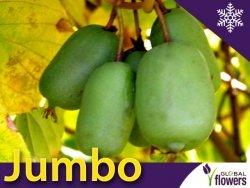 Aktinidia ostrolistna Sadzonka Kiwi Jumbo - odmiana żeńska