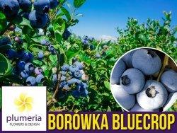 Borówka Amerykańska BLUECROP Sadzonka 2-letnia 30-50cm P9