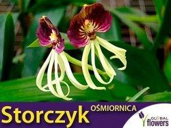 Storczyk Ośmiornica (Octupus Orchid) nasiona