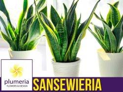 Sansewieria LAURENTII (Sansevieria) Roślina domowa. Sadzonka P12 - M