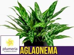 Aglaonema MARIA (Aglaonema maria) Roślina domowa. Sadzonka P12 - M