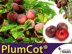 Śliwo-Morela PLUMCOT® Sadzonka C3,5 ok 120-130cm