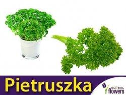 Pietruszka naciowa 'Festival 68' (Petroselinum crispum) XL 100g