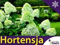 Hortensja Bukietowa 'Limelight' Sadzonka XL-C5 szczepiona na pniu 60-80cm