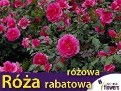 Róża rabatowa 'różowa' (Rosa) Sadzonka w balocie