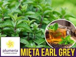 Mięta BERGAMOT (Mentha piperita) aromat Earl Grey Sadzonka C2