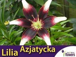 Lilia Azjatycka (lilium) Netty's Pride cebulka 1 szt.