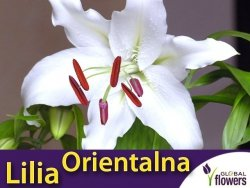 Lilia Orientalna (lilium) Casa Blanca cebulka 1 szt.