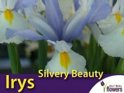Irys Holenderski Silvery Beauty (Iris hollandica) CEBULKI