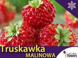 Truskawka Red Dream Truskawka + Malina Sadzonka