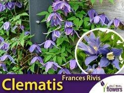 Powojnik botaniczny FRANCES RIVIS (Clematis) Sadzonka C2