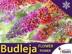 Budleja FLOWER POWER (Buddleia) Rarytas ! Sadzonka P9