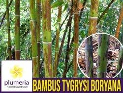 Czarny Bambus Tygrysi BORYANA Mrozoodporny (Phyllostachys nigra) Sadzonka XL-C5