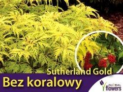 Bez koralowy SUTHERLAND GOLD (Sambucus racemosa) Sadzonka C2